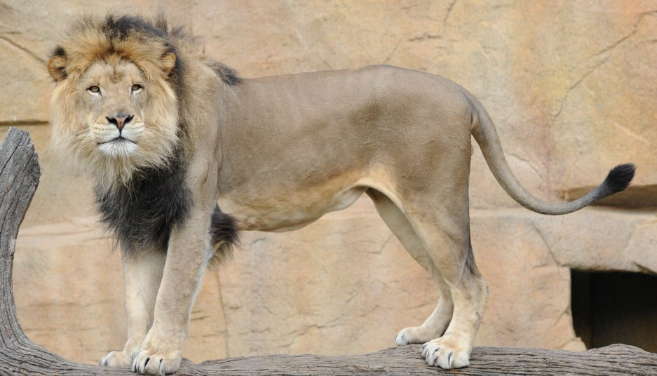 Zenda lion at Brookfield Zoo