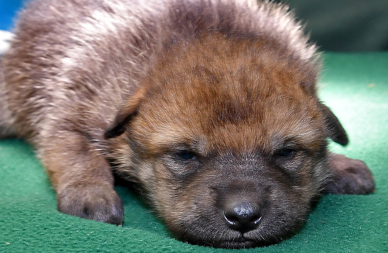 Mexican gray wolf pup at Brookfield Zoo