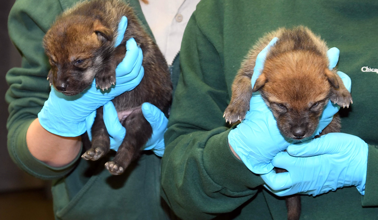 wolf pups at Brookfield Zoo