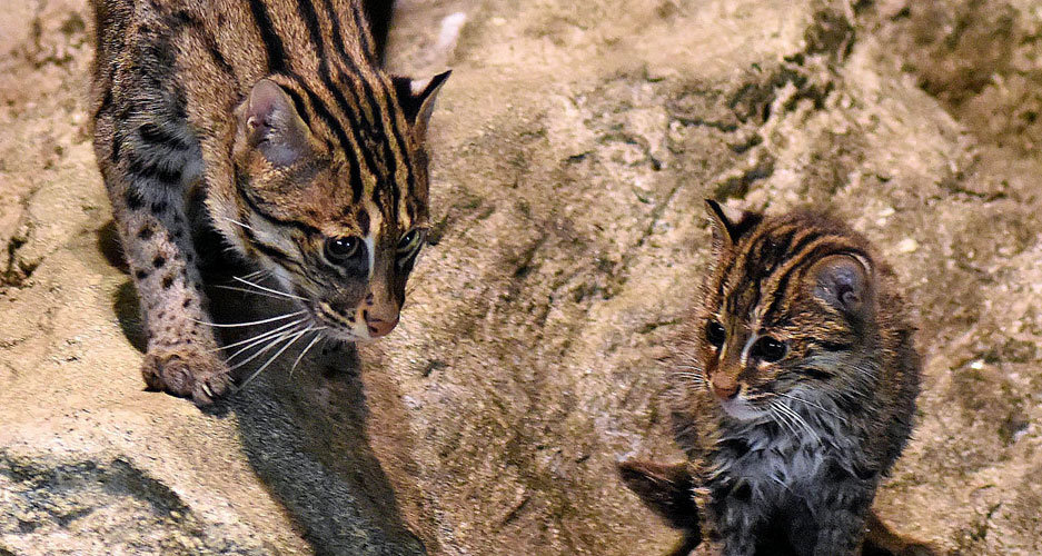 Fishing cats at Brookfield Zoo