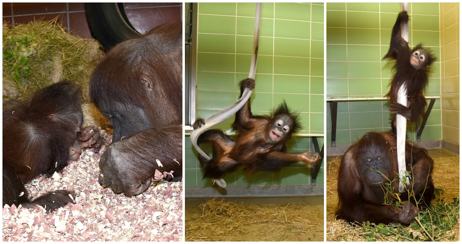 Enrichment for Maggie and Kecil Orangutan