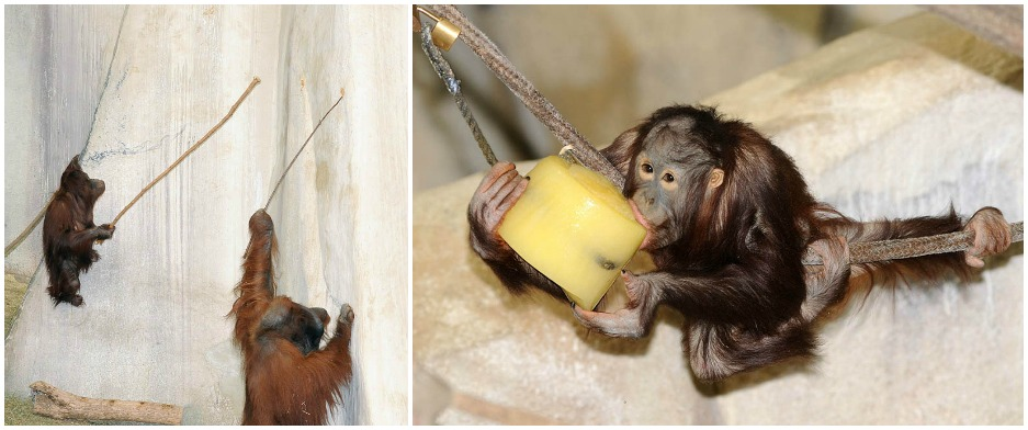 Enrichment for orangutan