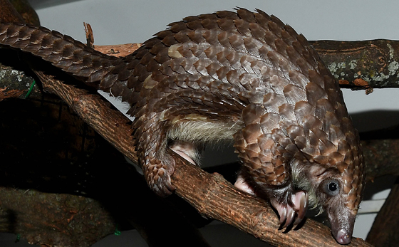 pangolin at Brookfield Zoo