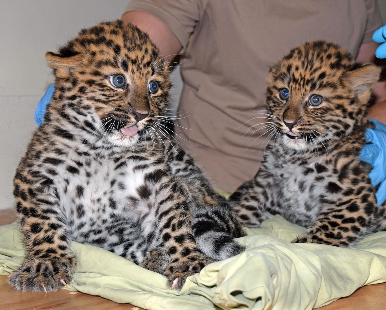 Amur Leopard Cubs born at Brookfield Zoo