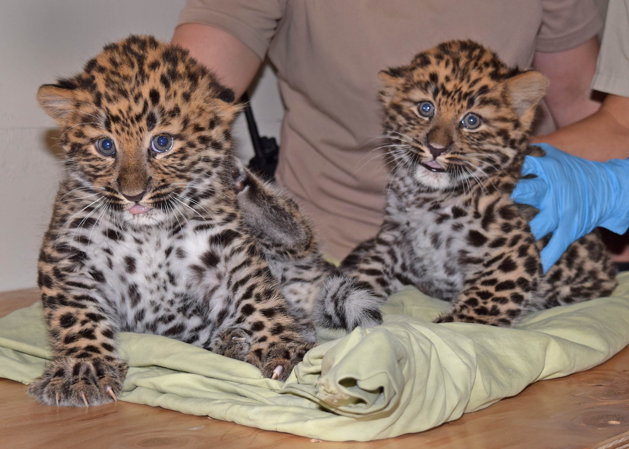 Chicago Zoological Society Amur Leopard Cubs Born At Brookfield Zoo How To Build Nocturnal Animals Whisker 2