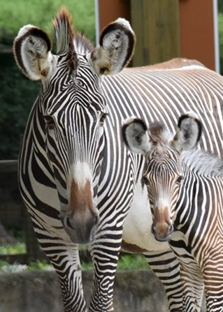 Grevy's Zebra Born at Brookfield Zoo on July 9