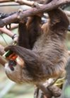 Adopt Raisin the two-toed sloth