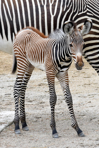 chicago zoological society grevy s zebra born at brookfield zoo rh czs org Zebra Z6M Plus