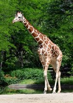 Reticulated Giraffe - Potoka