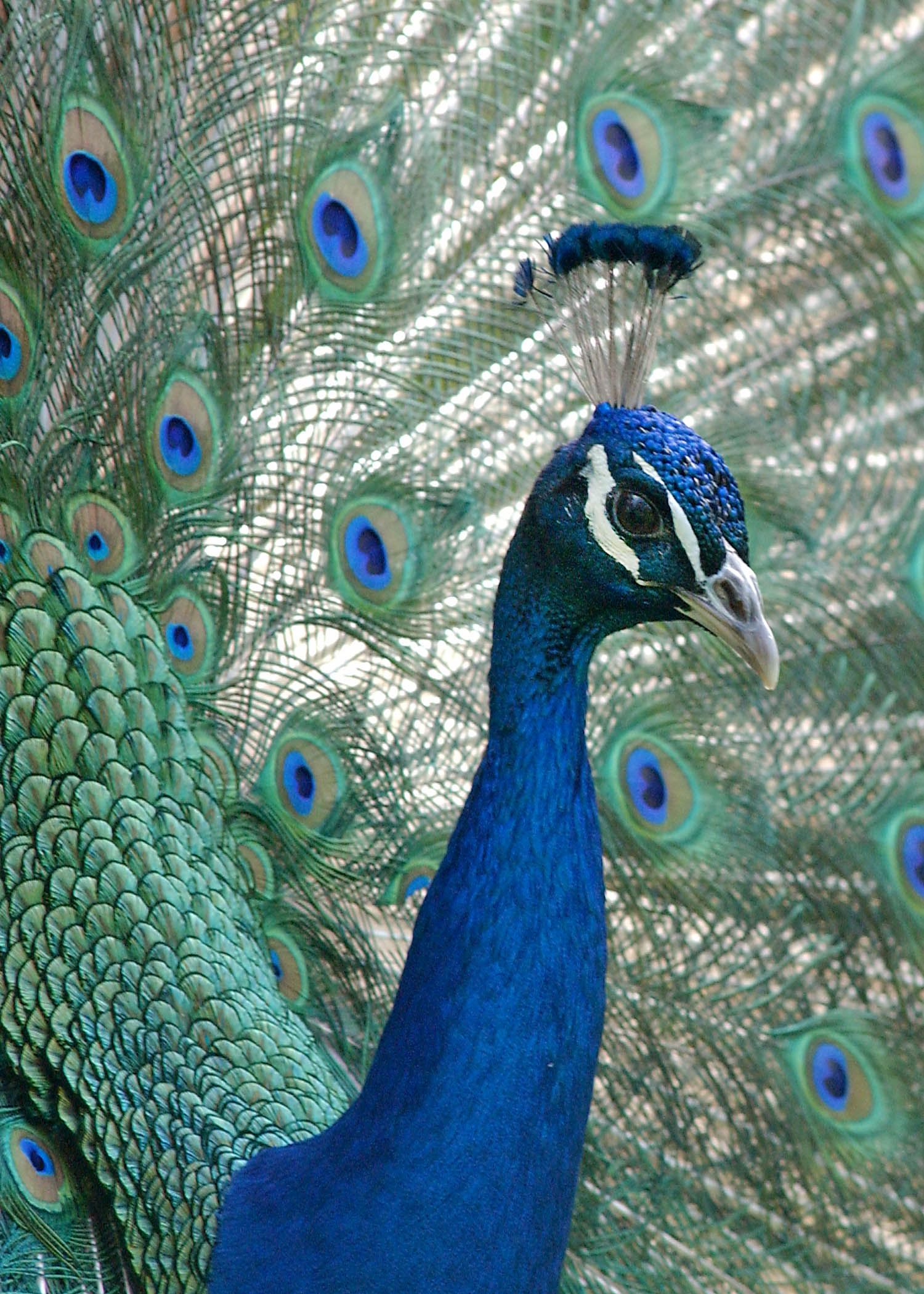 City Of South Gate >> Chicago Zoological Society - Peacock