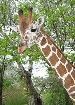 Reticulated Giraffe - Ato
