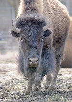 American Bison - Lucy