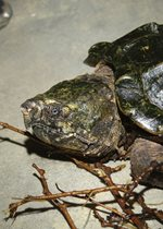 Alligator Snapping Turtle - Dickens