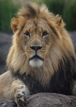 African Lion - Brutus