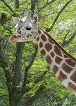 Reticulated Giraffe - Jasiri